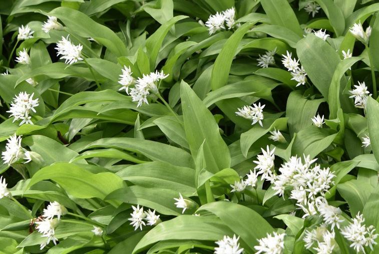 Wild garlic in flower