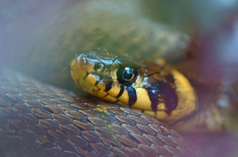 grass snake close up