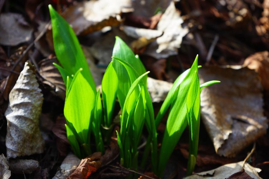 Wild garlic early shoots